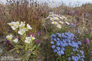 Fleurs à l'ile Wrangel